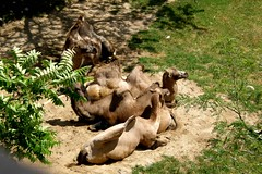 Milwaukee County Zoo (Tiger_Jack) Tags: milwaukeecountyzoo zoo zoos zoosofnorthamerica itazoooutthere camel camels