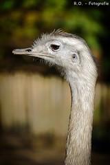Emu (R.O. - Fotografie) Tags: emu straus nahaufnahme closeup close up animal tier outdoor vogel bird bokeh natur nature rofotografie panasonic lumix dmcfz1000 dmc fz1000 fz 1000 vogelpark heiligenkirchen detmold nrw