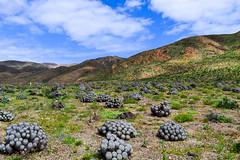 Copiapoa en Desierto de Atacama (ViccMau) Tags: desiertoflorido desierto copiapoa atacama chile