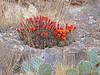 CAE012785a (jerryoldenettel) Tags: 180426 2018 blackspineclaretcup cactaceae caryophyllales chavesco claretcupcactus claretcup coreeudicots echinocereus echinocereustriglochidiatus elk kingscrowncactus mulecanyon nm robustclaretcup rosesclaretcup roseshedgehog spinelesshedgehog whitespinedclaretcup wildflower cactus flower kingcupcactus