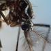 Culicidae, Aedes aegypti