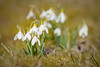 ۰The first blooms of spring always makes my heart sing۰ (Ranveig Marie Photography) Tags: snowdrops bømlo snøklokker vår spring flowwers flora blomster