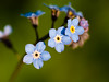 365.112 & 100x.27 - Forget me nots (AmyGStubbs) Tags: 100xthe2018edition 100x2018 2018 22apr18 365the2018edition 3652018 day112365 e30 forgetmenot garden image27100 olympus sigma105mmf28exdgmacrofourthirds spring flower