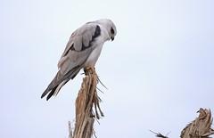 Black-shoulered Kite (James_Preece) Tags: blackshoulderedkite accipitridae elanusaxillarus birdsofprey m43 leicadgvarioelmar100400mmf463asphpoweroislens panasonicdcgh5 kite raptor