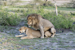Mating lions (tmeallen) Tags: lion lioness mating trackingcollar collaredfemale wildlfie rainyseason safari bushes freshgrasses greatmigration lakendutu tanzania southernserengeti eastafrica
