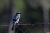 Pie-grièche migratrice (gilbert.calatayud) Tags: piegrièche migratrice lanius ludovicianus loggerhead shrike laniidés passériformes donana andalousie espagne