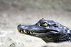 Spectacled caiman (Cloudtail the Snow Leopard) Tags: caiman tier animal reptil reptile kaiman brillenkaiman nördlicher krokodilkaiman crocodilus spectacled white common zoo amneville