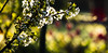 18-04-17 sonauf gegenl blü weiss bok zaun dsc09421-1 (u ki11 ulrich kracke) Tags: blüteweiss bokeh garten gegenlicht kontrast nah sonnenaufgang zaun zweigdünn