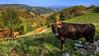 Vacas / Cows (López Pablo) Tags: cow nature mountain meadow grass gree wayofsaintjames galicia spain nikon d7200