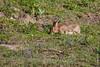 ©Mark Kras-Konijn-_DWL2924.jpg (markkras-fotografie) Tags: zoogdieren konijn fauna europeanrabbit oryctolaguscuniculus nederland nl