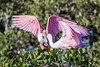 Roseate Spoonbill Feeding JR Opens the Fridge (dbadair) Tags: outdoor seaside shore sea sky water nature wildlife 7dm2 ocean canon florida bird
