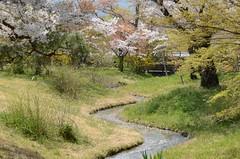 spring snow (snowshoe hare*) Tags: dsc0142 sakura petals cherryblossoms stream kyoto さくら 桜 花びら