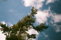 Point pleasent sky (tuco8887) Tags: olympus trip35 35mm trip agfa vista 200 nova scotia analog pointshoot grain vintage argentique pine clouds sky nature