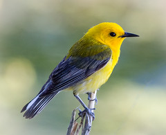 Prothonotary Warbler (tresed47) Tags: 2018 201805may 20180502johnheinzbirds birds canon7d content folder johnheinznwr may pennsylvania peterscamera petersphotos philadelphia places prothonotarywarbler season spring takenby us warbler ngc