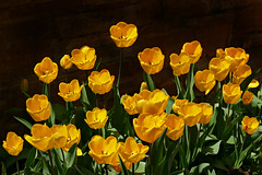 Yellow Tulips (Sandra Leidholdt) Tags: yellow tulips flower boulder colorado usa sandraleidholdt floral spring