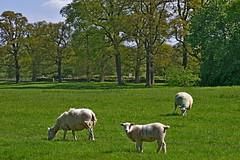 1464-31L (Lozarithm) Tags: lacock lacockabbey nt wilts sheep pentax zoom k1 28105 hdpdfa28105mmf3556eddcwr