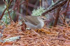 Swainson's Warbler (Neil Hayward) Tags: capecod swwa swainsonswarbler