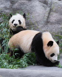 Toronto Zoo - Pandas