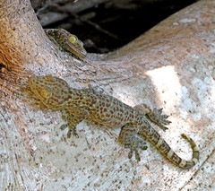 Red-spotted Tokay Gecko - Gekko gecko (Roger Wasley) Tags: redspotted tokaygecko gekkogecko nameri national park india reptile animal indian asia gecko nature wild