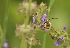 Eucère à longues antennes (fr) - Eucera longicornis (Linnaeus, 1758) - Langhornbiene (de) - Long-horned bee (en) (patrick68110) Tags: abeille orchidée prairie fleur