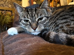 May 8th 2018 - Project 365 (Richard Amor Allan) Tags: tabby whiskers sleepy moggy stripes fur project 365 project365