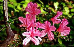 Azalea Cluster (Chris C. Crowley- BUSY will be off most of May!) Tags: azaleacluster pinkazaleas flowers botanical floral plants leaves garden outdoors nature sugarmillgardens portorangeflorida art