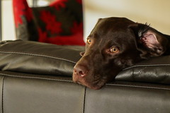 Lazy Afternoon (TonyinAus) Tags: oet dog labrador lazy