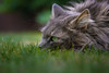 Waiting for the rain (FocusPocus Photography) Tags: fynn fynnegan katze kater cat chat gato tier animal haustier pet gras grass rasen lawn wartet waiting