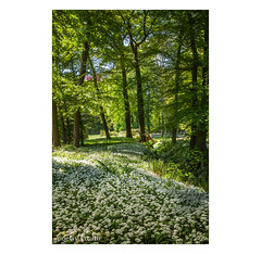 Lichtungen . . . (Dichtung & Wahrheit (Poetry and Truth)) Tags: wald sonne bärlauch bäume clearing trees sunshine ramson urwald primeval virgin forest spring frühling