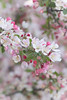 The Conservatory Garden (MikaJC) Tags: crabapple centralpark flowers nyc theconservatorygarden 16300mm tamron16300mm