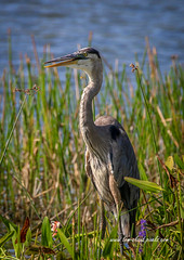 Standing Crane (tclaud2002) Tags: heron blueheron greatblueheron bird wadingbird wildlife animal grass tall tallgrass stand standing nature mothernature outdoors phippspark stuart florida usa