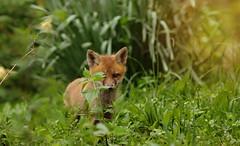Red Fox Kit (Marietta Dooley) Tags: canon canon5dmarkiv canonfullframe pennsylvania pennsylvaniawildlife pennypackecologicalrestorationtrust pennypack fox redfoxkit kit