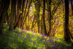 Still Beautiful (Augmented Reality Images (Getty Contributor)) Tags: woodland longexposure spring perthshire scotland flowers forest nisifilters landscape nature trees canon dunningglen bluebells dunning unitedkingdom gb