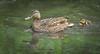 Following mommy (hedera.baltica) Tags: duck mallard kaczka krzyżówka kaczkakrzyżówka anasplatyrhynchos ducks mallards kaczki krzyżówki duckling kaczątko