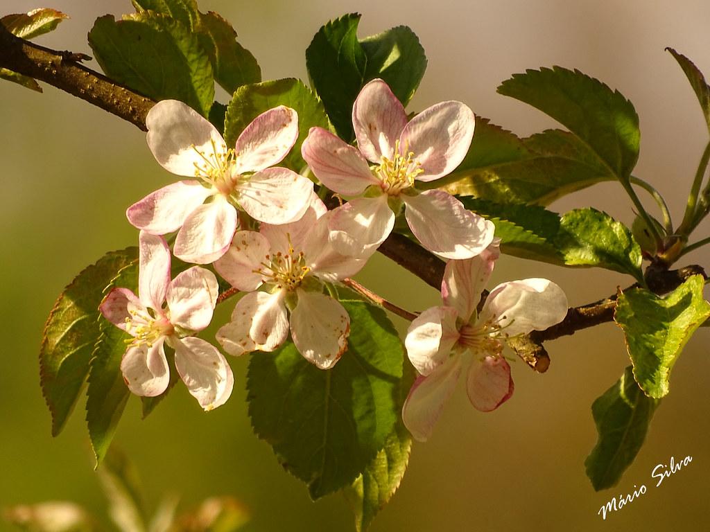 Águas Frias (Chaves) - ... flor de (...) ...