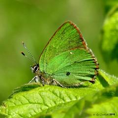 Green hairstreak (LPJC (no more uploads for some time - unplanned tr) Tags: butterfly skylarks skylarksreserve nottinghamshire uk 2018 lpjc greenhairstreak hairstreak