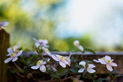 Creeping gently (jayneboo) Tags: clematis montana garden plant climber fence leica m summilux 75mm