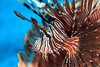 485964072 (roger999999) Tags: sealife underwaterdiving flores komodoisland lionfish scorpionfish underwater scubadiving animalsinthewild reef sea coralfish poisonousfish reeffish tropicalanimals tropicalsea underwaterpictures underwaterphotos uwimages commonlionfish venomousfish coraltriangle underwaterimages