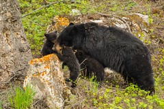 Vying for moms attention (ChicagoBob46) Tags: blackbear bear coy cub cubs yellowstone yellowstonenationalpark nature wildlife coth5 ngc npc
