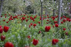 Tulip Orchard (moniquerebanks) Tags: tulips orchard redtulips blossom tulpen frutteto boomgaard obstgarten huerto verger tulipani blumen bloemen flowers fiori flores garden garten tuin jardin outdoors nature natura rodetulpen