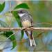 Northern Fantail (Rhipidura rufiventris) (17 centimetres)