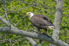 Bald Eagle (Jim McCree) Tags: baldeagle haliaeetusleucocephalus smyrnadelaware bombayhooknwr may 2018