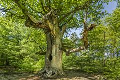 Saba Forest (Helmut Wendeler aus Hanau) Tags: saba forest wald baum tree old dead reinhardswald urwald