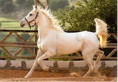 Postcrossing HU-143156 (booboo_babies) Tags: horse whitehorse white postcrossing