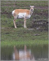 Pronghorn Doe 9101 (maguire33@verizon.net) Tags: yellowstone yellowstonenationalpark pronghorn wildlife wyoming unitedstates us antilocapraamericana