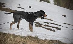 Nasco (bulbocode909) Tags: valais suisse chiens neige montagnes nature printemps ovronnaz