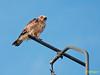 Culebrera europea (Circaetus gallicus) (1) (eb3alfmiguel) Tags: aves rapaces falconiformes accipitridae culebrera europea circaetus gallicus