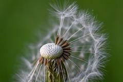 Dandelion. (agnieszka.a.morawska) Tags: macro spring helios helios44m bokeh dof bokehlicious beyondbokeh bkhq dmuchawiec dandelion