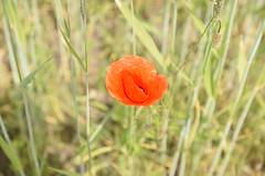 Mohn im Kornfeld - poppy in the cornfield (Stefan Markus) Tags: nikond5300 sigma1750mmf28exdcos rot red cornfield kornfeld poppy mohn germany deutschland nordrheinwestfalen