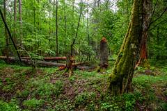 Białowieża Urwald (Timor Kodal) Tags: poland polen forest green trees bäume holz unterholz jungle primeval virgin primärwald nationalpark north east